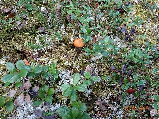 В этом году у нас много грибов... Но я смогла выбраться в лес всего лишь дважды...  День первый. С собой был только телефон. Вот они, первые трофеи! фото 17