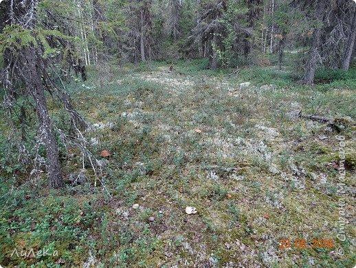 В этом году у нас много грибов... Но я смогла выбраться в лес всего лишь дважды...  День первый. С собой был только телефон. Вот они, первые трофеи! фото 19