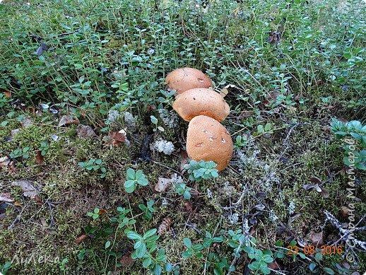 В этом году у нас много грибов... Но я смогла выбраться в лес всего лишь дважды...  День первый. С собой был только телефон. Вот они, первые трофеи! фото 20