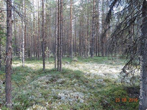 В этом году у нас много грибов... Но я смогла выбраться в лес всего лишь дважды...  День первый. С собой был только телефон. Вот они, первые трофеи! фото 21