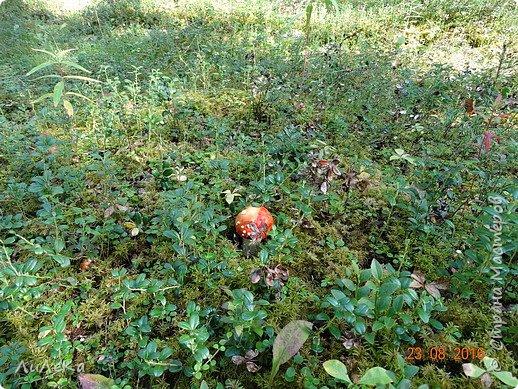 В этом году у нас много грибов... Но я смогла выбраться в лес всего лишь дважды...  День первый. С собой был только телефон. Вот они, первые трофеи! фото 22