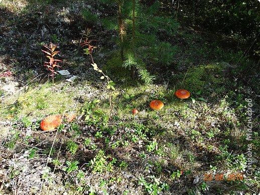 В этом году у нас много грибов... Но я смогла выбраться в лес всего лишь дважды...  День первый. С собой был только телефон. Вот они, первые трофеи! фото 23