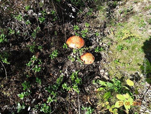 В этом году у нас много грибов... Но я смогла выбраться в лес всего лишь дважды...  День первый. С собой был только телефон. Вот они, первые трофеи! фото 24