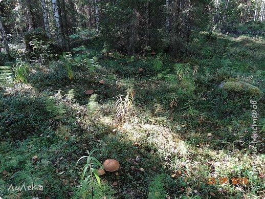 В этом году у нас много грибов... Но я смогла выбраться в лес всего лишь дважды...  День первый. С собой был только телефон. Вот они, первые трофеи! фото 27
