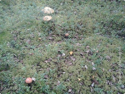 В этом году у нас много грибов... Но я смогла выбраться в лес всего лишь дважды...  День первый. С собой был только телефон. Вот они, первые трофеи! фото 6