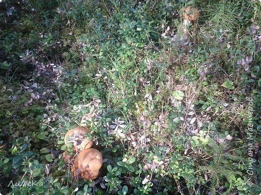 В этом году у нас много грибов... Но я смогла выбраться в лес всего лишь дважды...  День первый. С собой был только телефон. Вот они, первые трофеи! фото 10