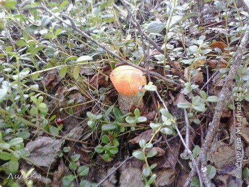В этом году у нас много грибов... Но я смогла выбраться в лес всего лишь дважды...  День первый. С собой был только телефон. Вот они, первые трофеи! фото 11