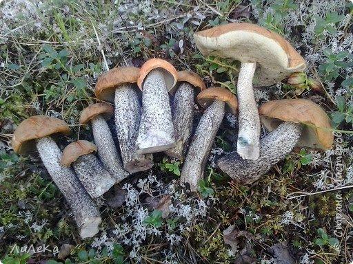 В этом году у нас много грибов... Но я смогла выбраться в лес всего лишь дважды...  День первый. С собой был только телефон. Вот они, первые трофеи! фото 13