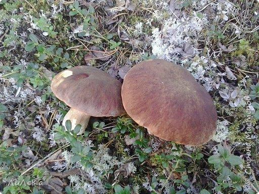 В этом году у нас много грибов... Но я смогла выбраться в лес всего лишь дважды...  День первый. С собой был только телефон. Вот они, первые трофеи! фото 14