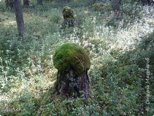 В этом году у нас много грибов... Но я смогла выбраться в лес всего лишь дважды...  День первый. С собой был только телефон. Вот они, первые трофеи! фото 16