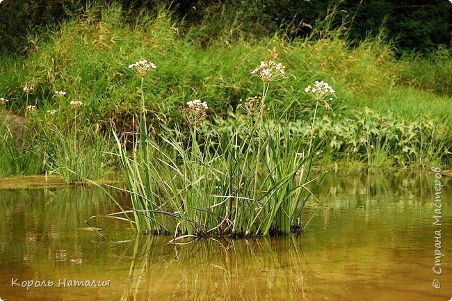Всем доброго вечера! Спешу поделиться с вами воспоминаниями о лете... Любич - рукав Десны. Длина около 15 км, русло реки неглубокое, но течение достаточно быстрое.   фото 9