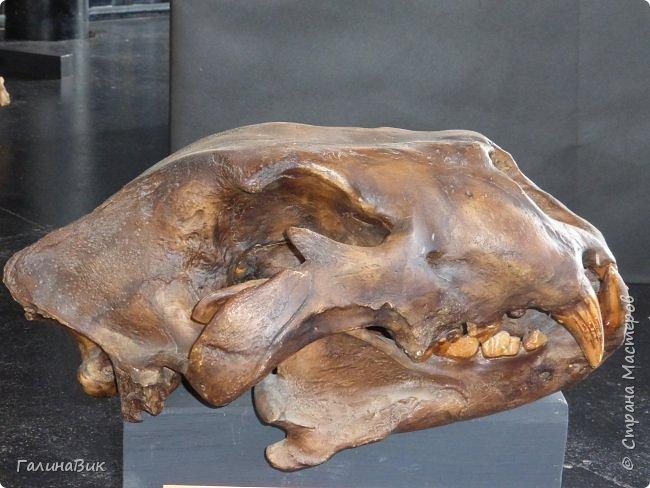 """Ну вот, и подошло время последнего алтайского фоторепортажа. """"Палеопарк"""" - это самый большой музей естественной истории в Сибири по количеству палеонтологических экспонатов. Он начал функционировать всего лишь с июля 2015 года. Музей открыл новосибирский палеонтолог Игорь Гребнев, собиравший музейные экспонаты в течение 20 лет. фото 46"""
