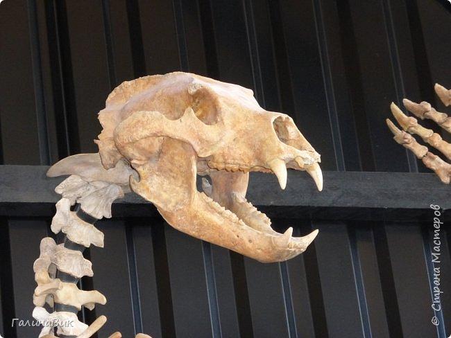 """Ну вот, и подошло время последнего алтайского фоторепортажа. """"Палеопарк"""" - это самый большой музей естественной истории в Сибири по количеству палеонтологических экспонатов. Он начал функционировать всего лишь с июля 2015 года. Музей открыл новосибирский палеонтолог Игорь Гребнев, собиравший музейные экспонаты в течение 20 лет. фото 49"""