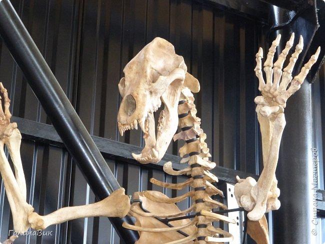 """Ну вот, и подошло время последнего алтайского фоторепортажа. """"Палеопарк"""" - это самый большой музей естественной истории в Сибири по количеству палеонтологических экспонатов. Он начал функционировать всего лишь с июля 2015 года. Музей открыл новосибирский палеонтолог Игорь Гребнев, собиравший музейные экспонаты в течение 20 лет. фото 51"""