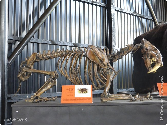 """Ну вот, и подошло время последнего алтайского фоторепортажа. """"Палеопарк"""" - это самый большой музей естественной истории в Сибири по количеству палеонтологических экспонатов. Он начал функционировать всего лишь с июля 2015 года. Музей открыл новосибирский палеонтолог Игорь Гребнев, собиравший музейные экспонаты в течение 20 лет. фото 52"""