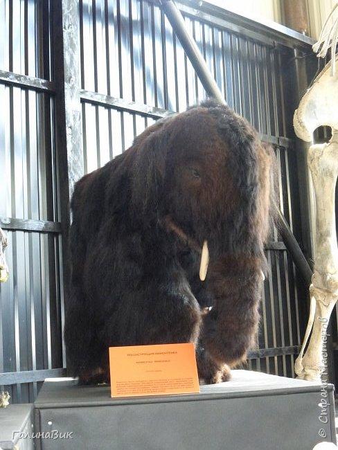 """Ну вот, и подошло время последнего алтайского фоторепортажа. """"Палеопарк"""" - это самый большой музей естественной истории в Сибири по количеству палеонтологических экспонатов. Он начал функционировать всего лишь с июля 2015 года. Музей открыл новосибирский палеонтолог Игорь Гребнев, собиравший музейные экспонаты в течение 20 лет. фото 54"""