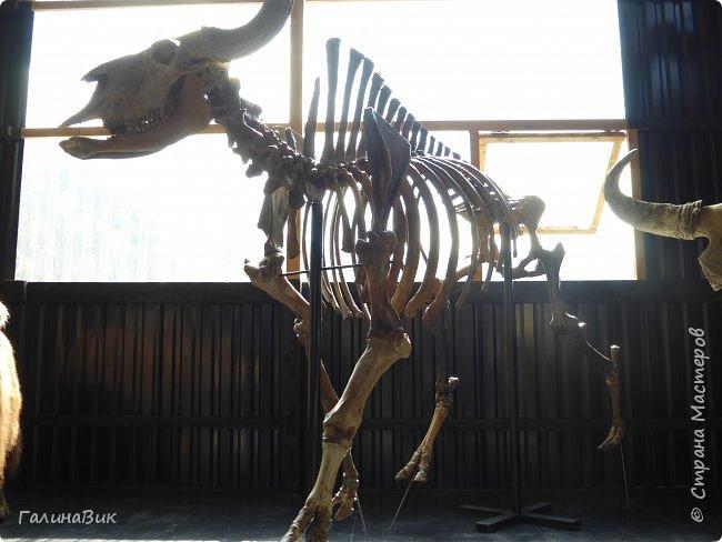 """Ну вот, и подошло время последнего алтайского фоторепортажа. """"Палеопарк"""" - это самый большой музей естественной истории в Сибири по количеству палеонтологических экспонатов. Он начал функционировать всего лишь с июля 2015 года. Музей открыл новосибирский палеонтолог Игорь Гребнев, собиравший музейные экспонаты в течение 20 лет. фото 61"""