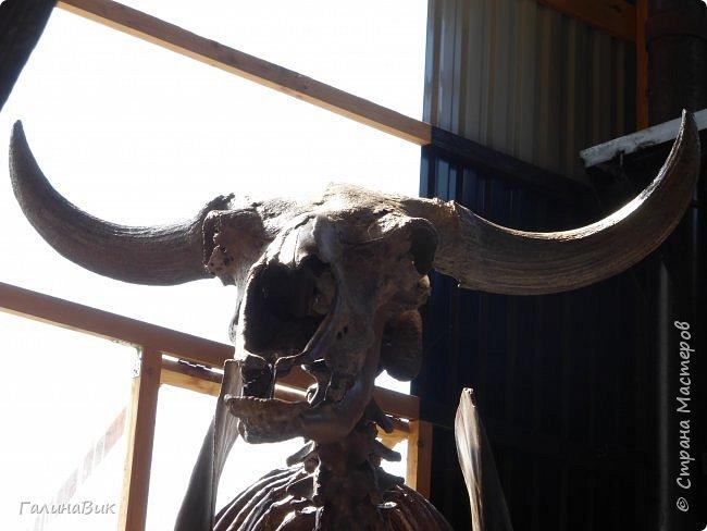 """Ну вот, и подошло время последнего алтайского фоторепортажа. """"Палеопарк"""" - это самый большой музей естественной истории в Сибири по количеству палеонтологических экспонатов. Он начал функционировать всего лишь с июля 2015 года. Музей открыл новосибирский палеонтолог Игорь Гребнев, собиравший музейные экспонаты в течение 20 лет. фото 62"""
