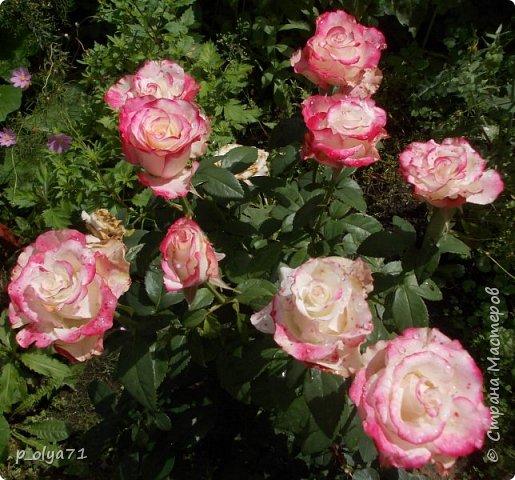 Здравствуйте!!!  Каждое время года хорошо по-своему.. Лето радует нас пестротой, разнообразием красок.. Вот я и любуюсь,любуюсь и любуюсь!..))) Хочу и с вами поделиться частичкой красоты,которую нам дарит природа!  Спасибо ей! фото 51