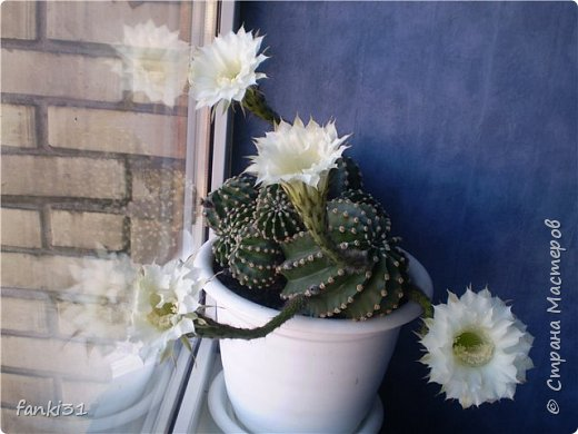 жаль но так кактус цвёл только один раз, сразу 11 цветочков фото 2