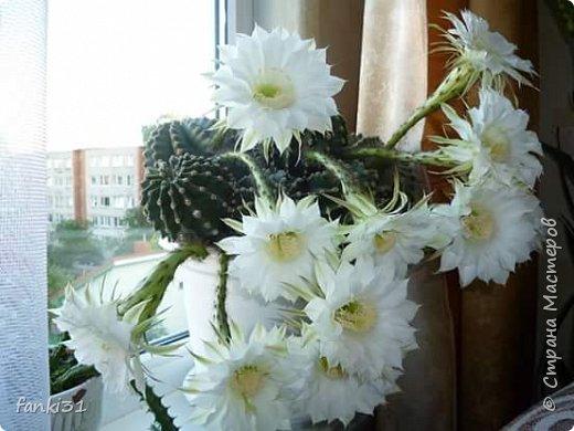 жаль но так кактус цвёл только один раз, сразу 11 цветочков фото 1
