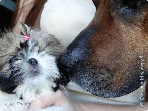В июне месяце в нашей семье поселилось это чудо. Очень дочке хотелось маленькую собачку, чтоб можно было с ней гулять, а наш большой пес дочку с ног сваливает. Папа был против еще одной собаки в нашем зоопарке, но соня имеет свои методы воздействия, и папа не устоял. Мы ждали пока она родится, с первых минут выбрали именно ее, потом ждали когда подрастет, и вот наконец она у нас.  Изначально решили что звать ее будут Кирой, а потом выяснилось, что по родословной надо назвать на букву Ю, выкрутились придумав ей двойное имя Юстина-Кирьяна фото 12