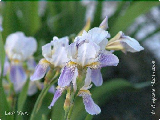 Вот такие цветы растут на даче нашей мамы. фото 5