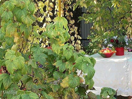 Здравствовать всем,. кто ко мне заглянул. К великому моему сожалению, летом я не занималась своим любимым джутом.  Летом я -садовник - огородник. Мои цветы, может, видели в записях моего блога. Сегодня хвастаюсь своим урожаем. фото 11