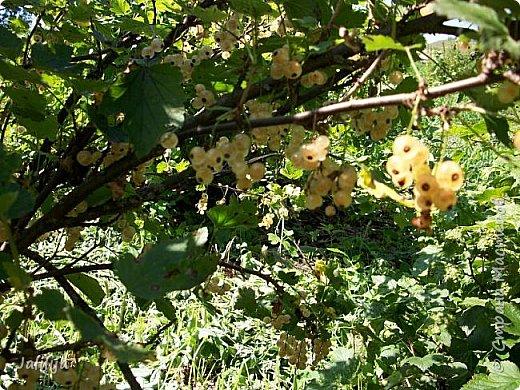 Здравствовать всем,. кто ко мне заглянул. К великому моему сожалению, летом я не занималась своим любимым джутом.  Летом я -садовник - огородник. Мои цветы, может, видели в записях моего блога. Сегодня хвастаюсь своим урожаем. фото 22