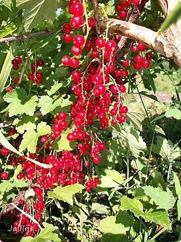 Здравствовать всем,. кто ко мне заглянул. К великому моему сожалению, летом я не занималась своим любимым джутом.  Летом я -садовник - огородник. Мои цветы, может, видели в записях моего блога. Сегодня хвастаюсь своим урожаем. фото 25