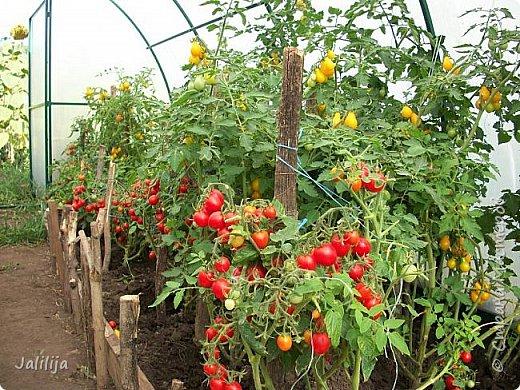 Здравствовать всем,. кто ко мне заглянул. К великому моему сожалению, летом я не занималась своим любимым джутом.  Летом я -садовник - огородник. Мои цветы, может, видели в записях моего блога. Сегодня хвастаюсь своим урожаем. фото 30