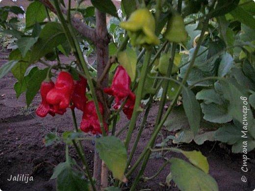 Здравствовать всем,. кто ко мне заглянул. К великому моему сожалению, летом я не занималась своим любимым джутом.  Летом я -садовник - огородник. Мои цветы, может, видели в записях моего блога. Сегодня хвастаюсь своим урожаем. фото 36