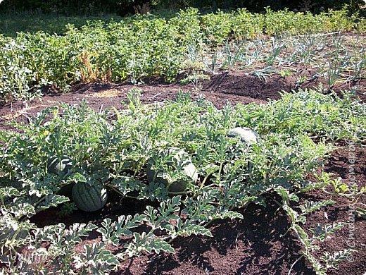 Здравствовать всем,. кто ко мне заглянул. К великому моему сожалению, летом я не занималась своим любимым джутом.  Летом я -садовник - огородник. Мои цветы, может, видели в записях моего блога. Сегодня хвастаюсь своим урожаем. фото 37