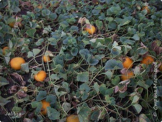 Здравствовать всем,. кто ко мне заглянул. К великому моему сожалению, летом я не занималась своим любимым джутом.  Летом я -садовник - огородник. Мои цветы, может, видели в записях моего блога. Сегодня хвастаюсь своим урожаем. фото 39