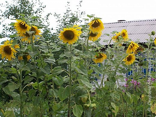 Здравствовать всем,. кто ко мне заглянул. К великому моему сожалению, летом я не занималась своим любимым джутом.  Летом я -садовник - огородник. Мои цветы, может, видели в записях моего блога. Сегодня хвастаюсь своим урожаем. фото 43