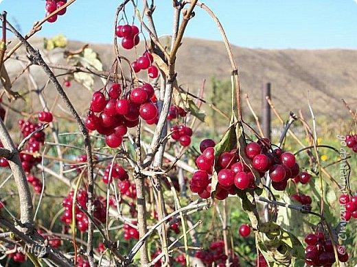 Здравствовать всем,. кто ко мне заглянул. К великому моему сожалению, летом я не занималась своим любимым джутом.  Летом я -садовник - огородник. Мои цветы, может, видели в записях моего блога. Сегодня хвастаюсь своим урожаем. фото 46