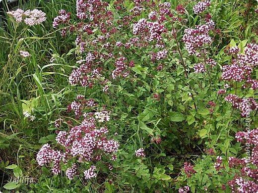 Здравствовать всем,. кто ко мне заглянул. К великому моему сожалению, летом я не занималась своим любимым джутом.  Летом я -садовник - огородник. Мои цветы, может, видели в записях моего блога. Сегодня хвастаюсь своим урожаем. фото 52