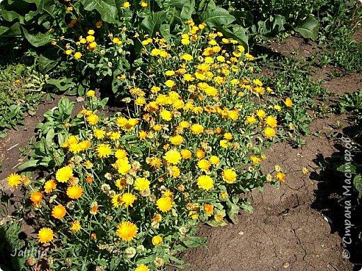 Здравствовать всем,. кто ко мне заглянул. К великому моему сожалению, летом я не занималась своим любимым джутом.  Летом я -садовник - огородник. Мои цветы, может, видели в записях моего блога. Сегодня хвастаюсь своим урожаем. фото 53