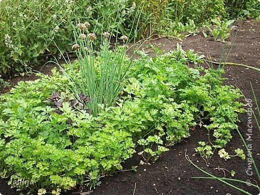 Здравствовать всем,. кто ко мне заглянул. К великому моему сожалению, летом я не занималась своим любимым джутом.  Летом я -садовник - огородник. Мои цветы, может, видели в записях моего блога. Сегодня хвастаюсь своим урожаем. фото 7