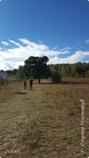 С семьёй ездили к кужановским лиственницам, очень красивые и большие деревья. фото 5