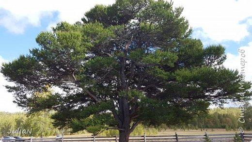 С семьёй ездили к кужановским лиственницам, очень красивые и большие деревья. фото 8