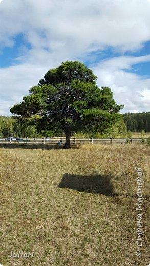 С семьёй ездили к кужановским лиственницам, очень красивые и большие деревья. фото 6