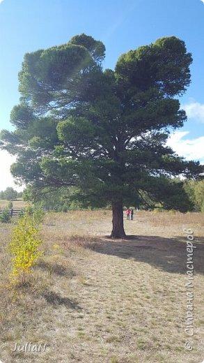 С семьёй ездили к кужановским лиственницам, очень красивые и большие деревья. фото 9