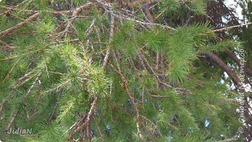 С семьёй ездили к кужановским лиственницам, очень красивые и большие деревья. фото 10
