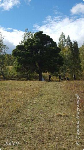 С семьёй ездили к кужановским лиственницам, очень красивые и большие деревья. фото 11