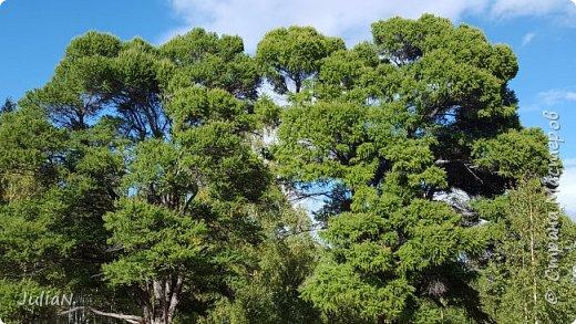 С семьёй ездили к кужановским лиственницам, очень красивые и большие деревья. фото 12