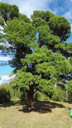 С семьёй ездили к кужановским лиственницам, очень красивые и большие деревья. фото 13