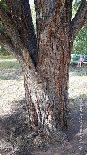 С семьёй ездили к кужановским лиственницам, очень красивые и большие деревья. фото 14
