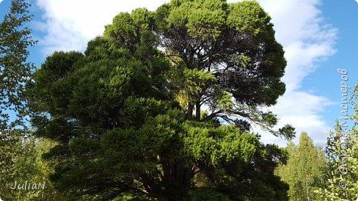 С семьёй ездили к кужановским лиственницам, очень красивые и большие деревья. фото 16