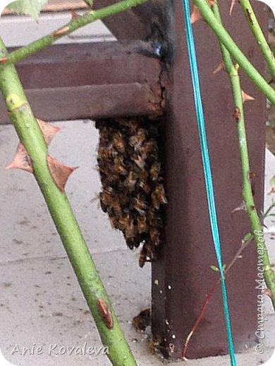 Поехали на дачу, а тут пчёлки:)) Днём летали, а к вечеру похолодало, и они впали почти в спячку:)) фото 2